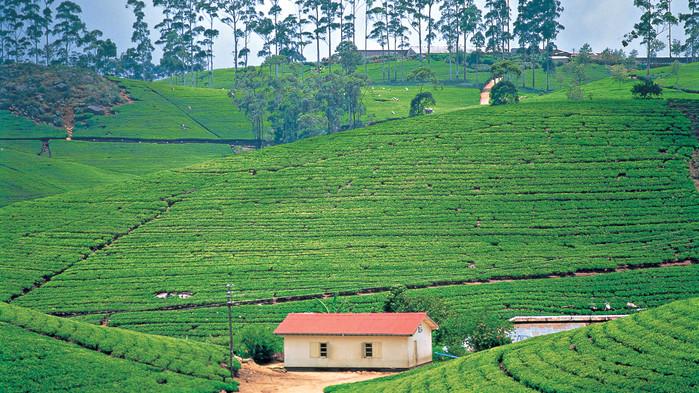 Teplantager i höglandet