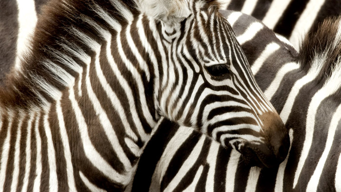 Sebror under en safari i Masai Mara.