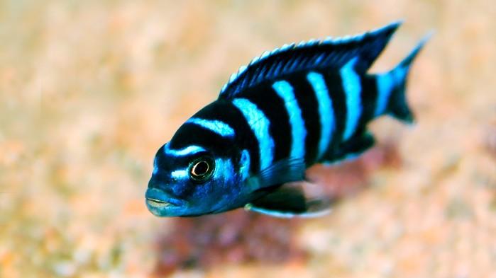 Malawisjön är världens åttende största sjö och här finns fler fiskarter än i någon annan sjö på jorden.