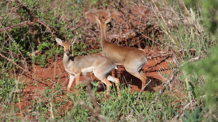I Tsavo finns det gott om dikdik-antiloper - den minsta antiloparten