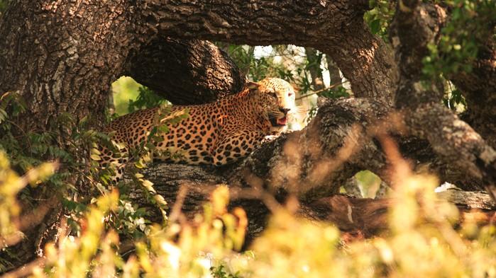Leopard i Yala nationalpark