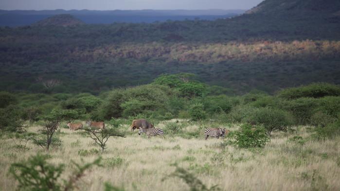Den största antiloparten, elandantilopen, och sebror betar i Tsavo