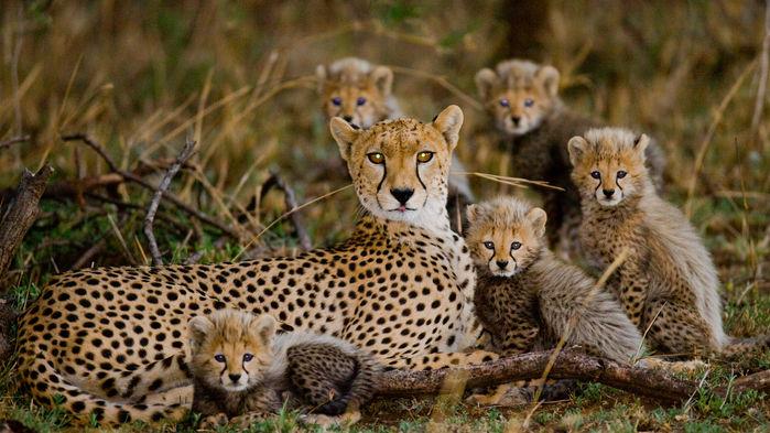 En gepardfamilj vilar