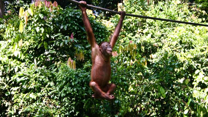 Orangutang i Sepilok