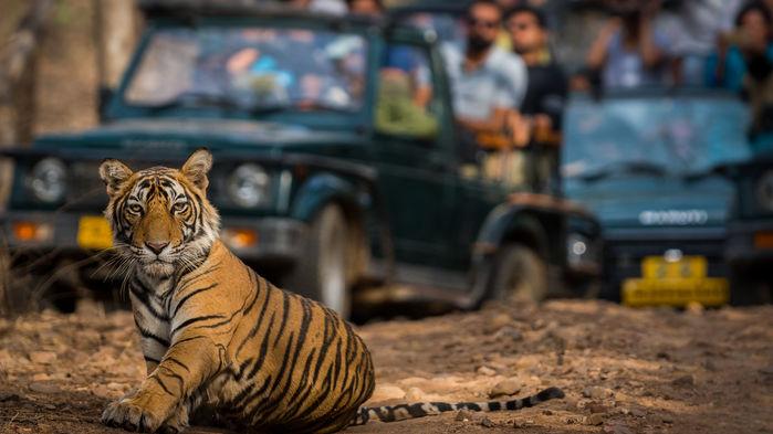 Tiger i Ranthambore