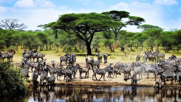 Från november till juni befinner sig den stora migrationen normalt i Serengeti.