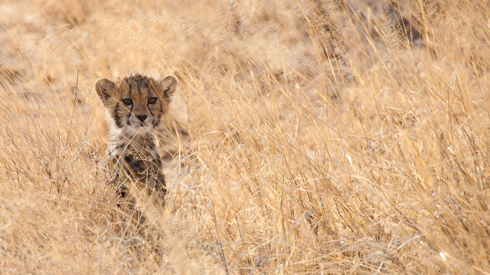 Gepardunge i Masai Mara.