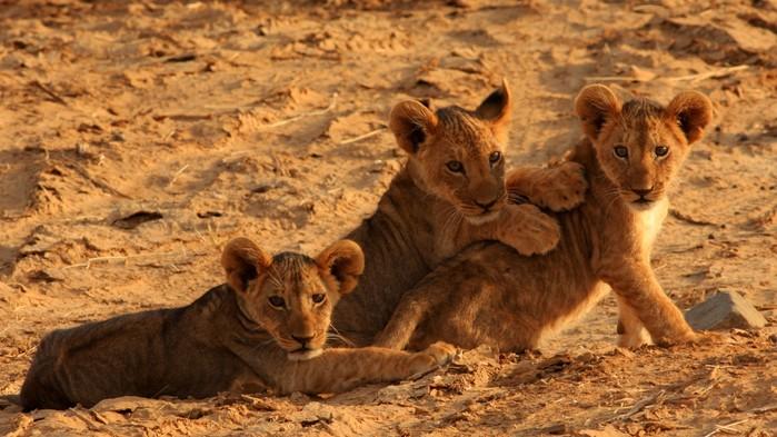 Lejonungar under en safari i Masai Mara.