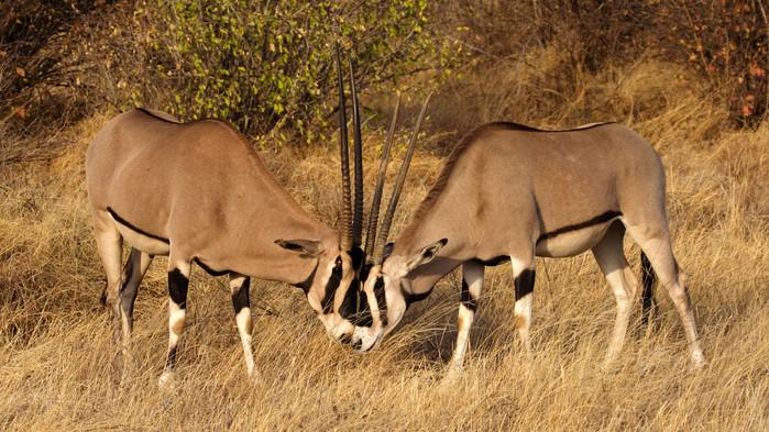Oryxer i Samburu.