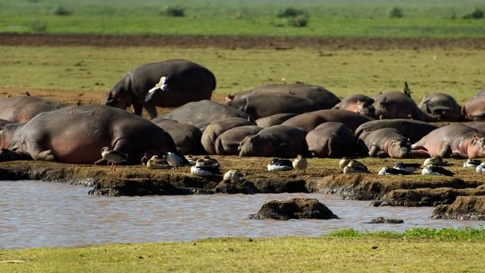 <P>Lata flodhästar i Manyara nationalpark</P>