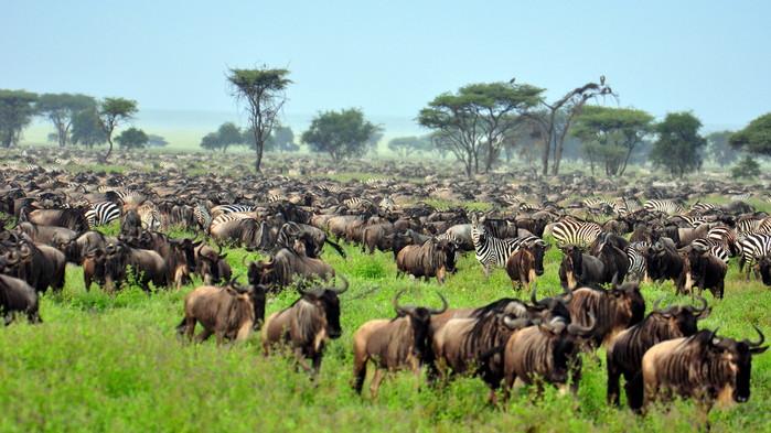 Större delen av vinterhalvåret befinner sig migrationen i Serengeti.