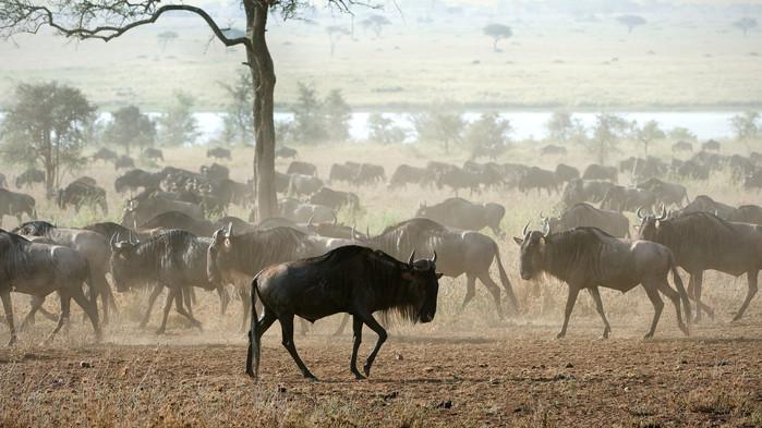 Delar av den mäktiga migrationen under en safari i Serengeti, Tanzania.