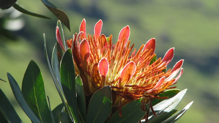 Protean är Sydafrikas nationalblomma.