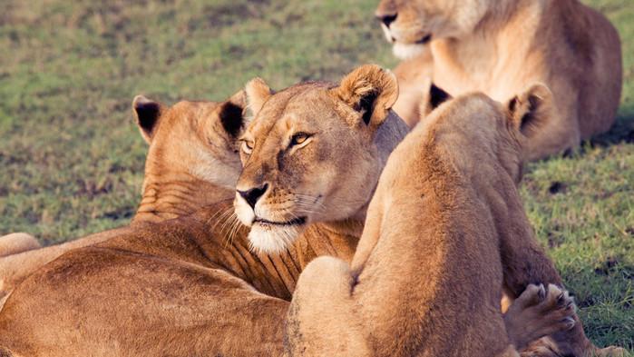 Lejonhona med ungar under en safari i Serengeti Nationalpark.